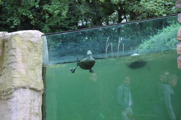 Enten erkunden das Reich der Pinguine