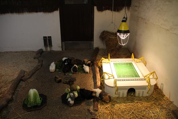 Ein kleines Westfalenstadion für die Meerschweinchen, ist eine witzige Idee