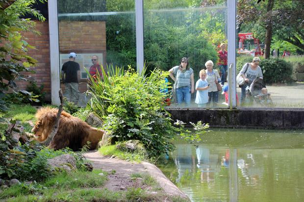 Viel Platz hat auch dieser Löwe nicht