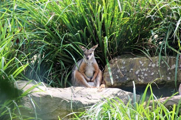 Eines der Känguru-Gehege ist begehbar