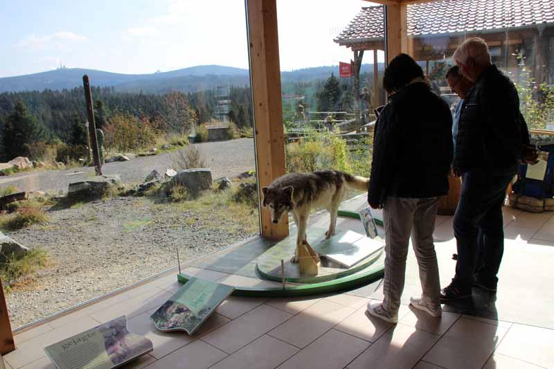 Ein Wolf im Nationalparkhaus