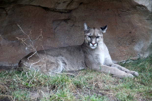 Auch Exoten wie diesen Puma gibt es im Zoo am Meer