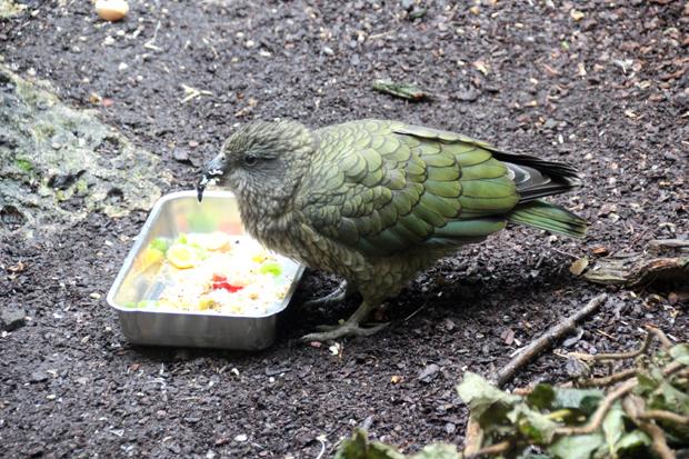 Ursprünglich aus Neuseeland kommt dieser Kea