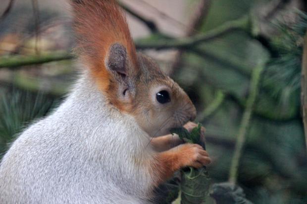 Drollig ist dieses Sibirische Eichhörnchen