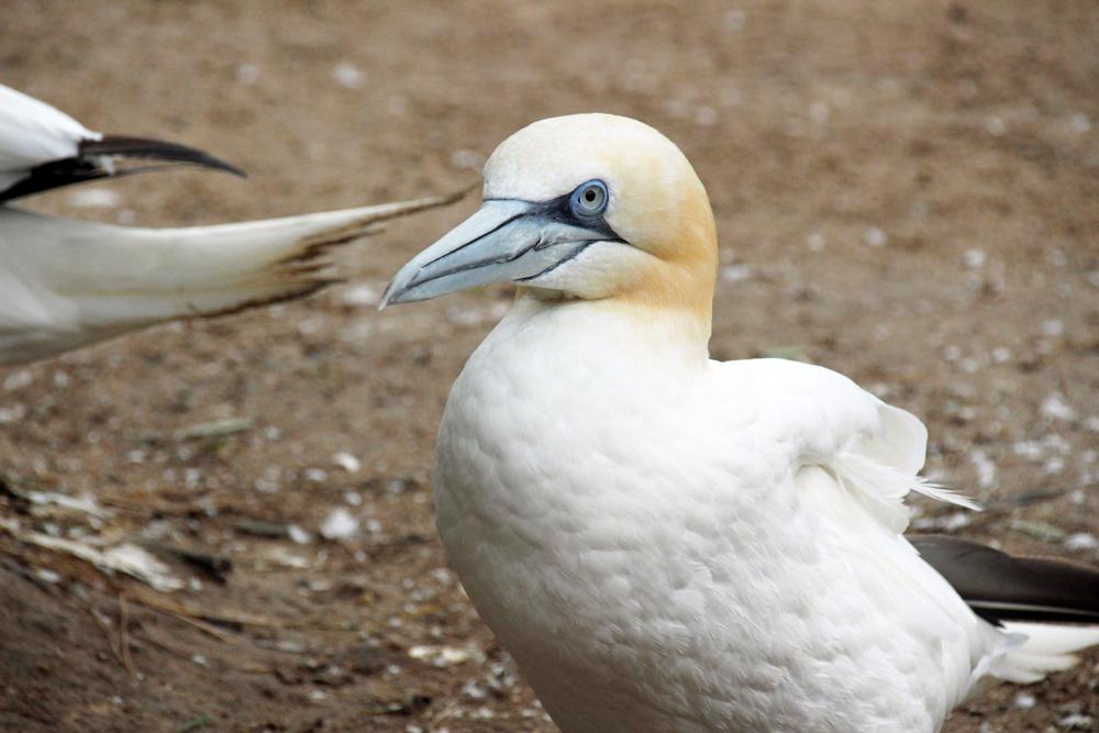 Meeresvögel wie dieser Basstölpel von der Nordsee bewohnen den Zoo am Meer in Bremerhaven