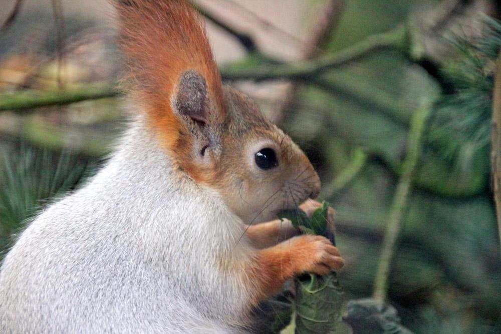 Drollig ist dieses Sibirische Eichhörnchen im Zoo am Meer in Bremerhaven