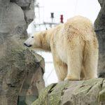 Die Eisbären im Zoo am Meer in Bremerhaven schauen gelegentlich den Schiffen nach