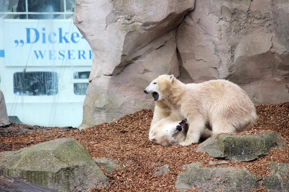 Hinter den Eisbären im Zoo am Meer fahren die Schiffe aus dem Hafen über die Weser auf die Nordsee