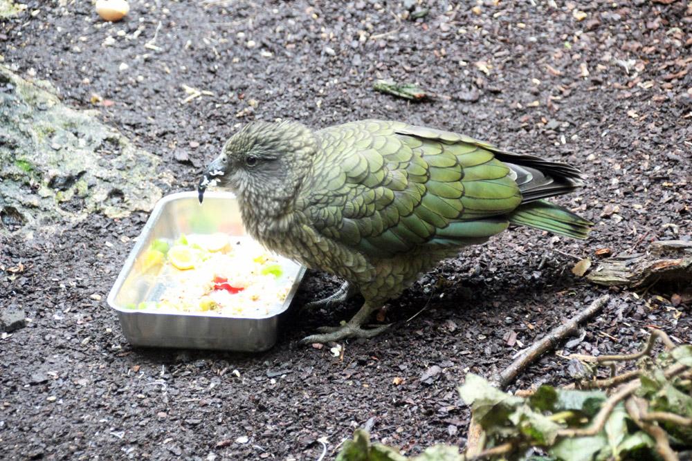 Kea Vogel aus Neuseeland im Zoo am Meer in Bremerhaven