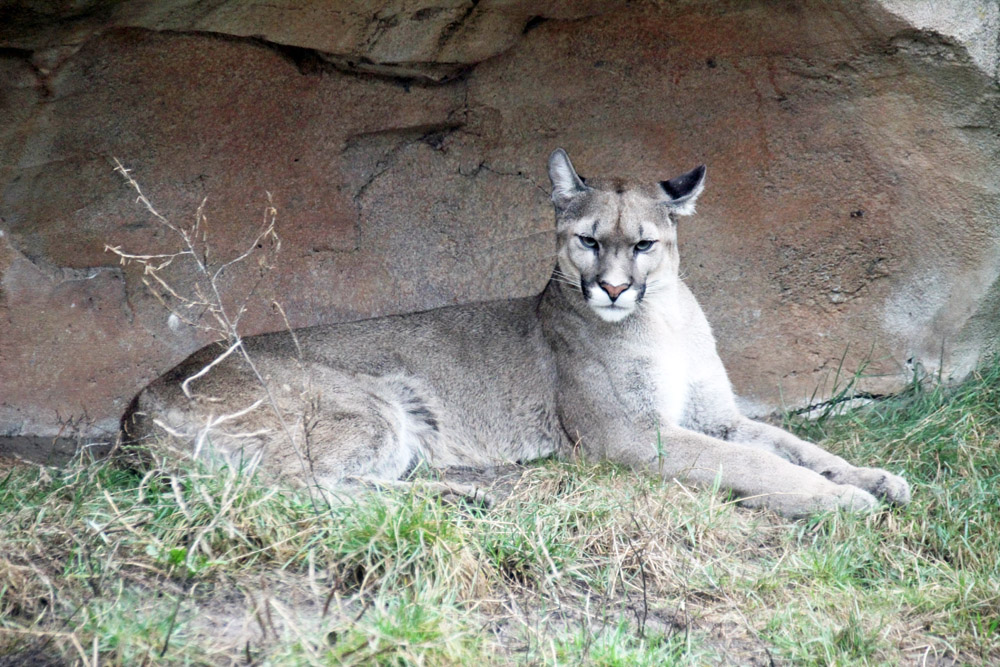 Puma im Zoo am Meer in Bremerhaven