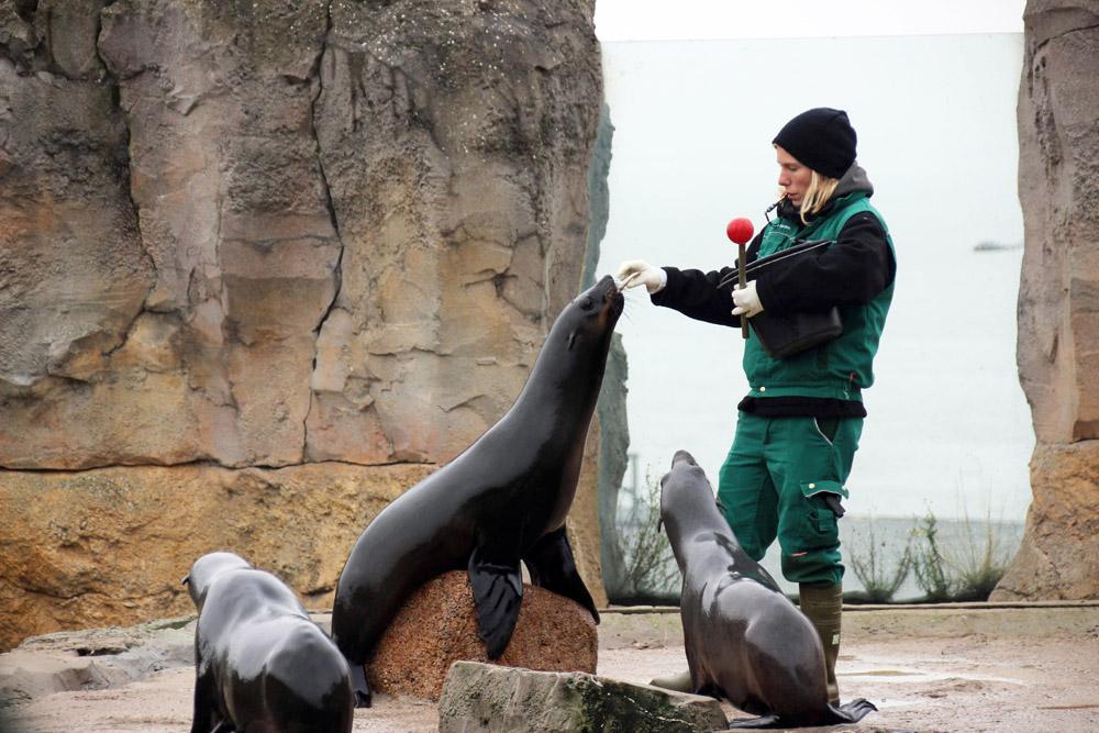Seelöwen sind im Zoo am Meer in Bremerhaven zu sehen
