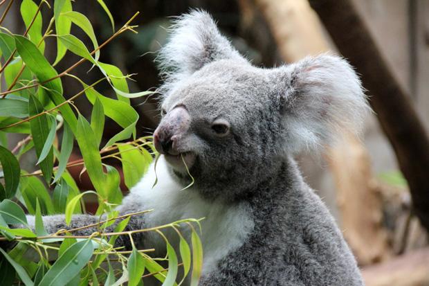 Im Zoo Duisburg gibt es Koalas zu sehen