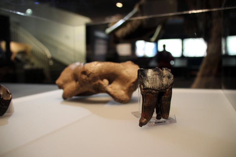 Knochen und Zähne von eiszeitlichen Tieren sind zu sehen