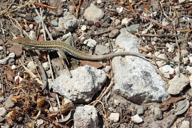Eidechsen sind ein typischer Vertreter der Fauna von Zypern und ein fester Bestandteil der örtlichen Tierwelt