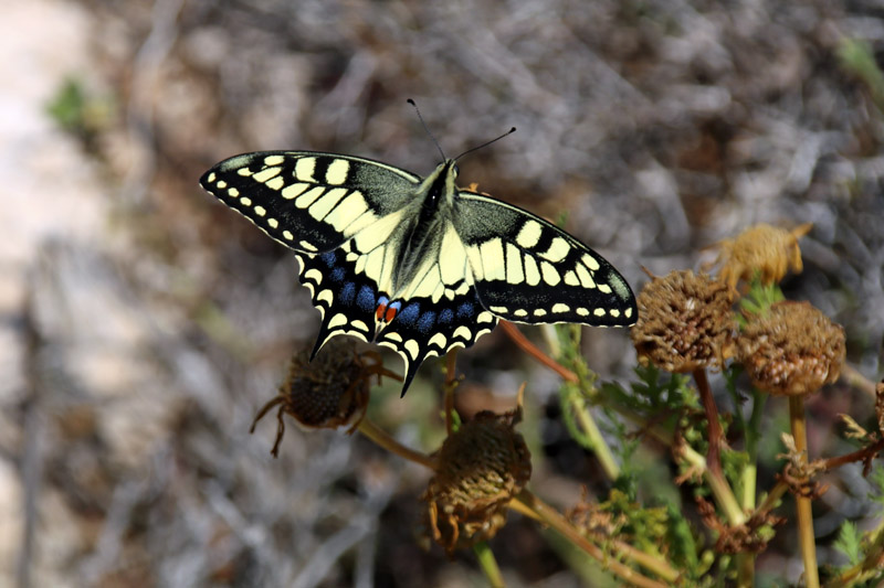 Schmetterlinge findet man auf Zypern reichlich