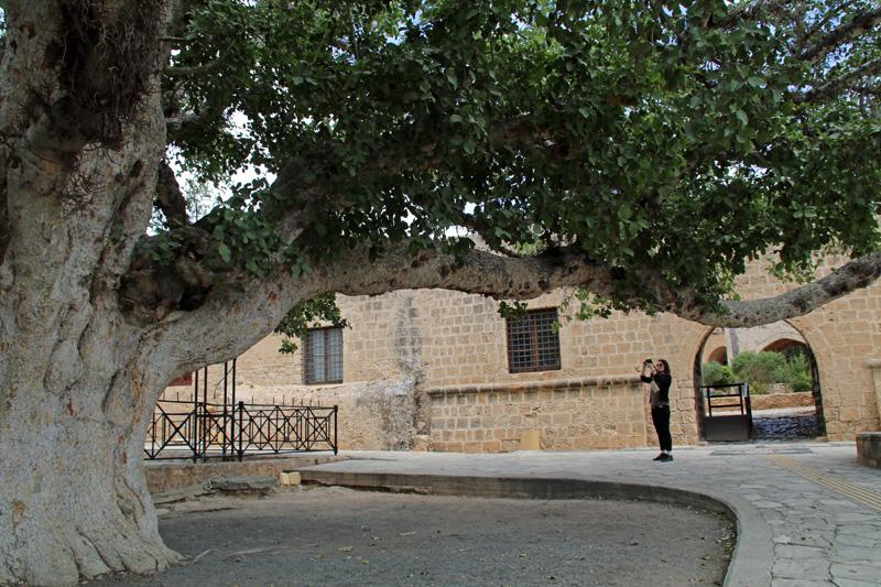 Ein uralter Baum steht vor dem Ayia Napa Kloster auf Zypern