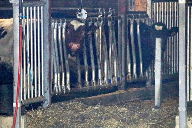 Kühe am Goldenen Umweg an der Gangstad Gårdsysteri in Norwegen