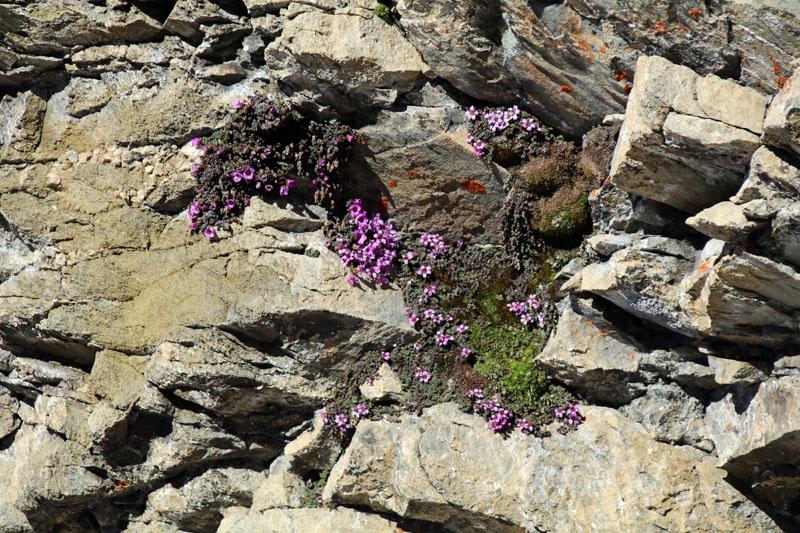 Wer genau hinsieht, findet auch viele zarte Alpenpflanzen