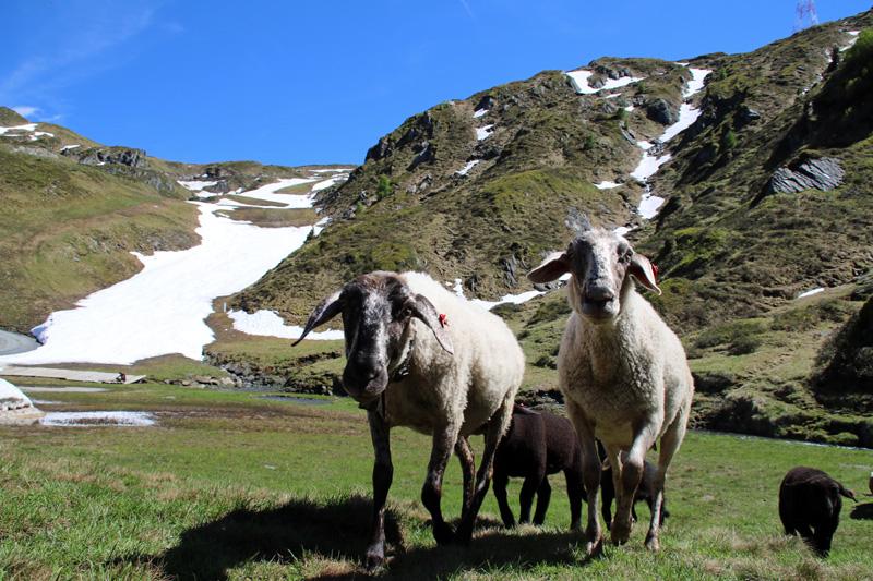 An den Hängen grasen Schafe