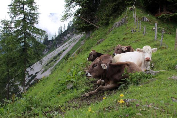 Eigentlich sehen Kühe wandern ja sehr friedlich aus. Großen Respekt habe ich trotzdem