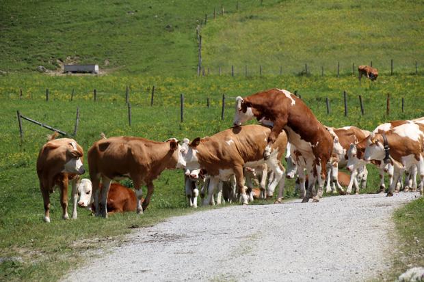 Mit Kühen möchte ich mich nur ungern anlegen