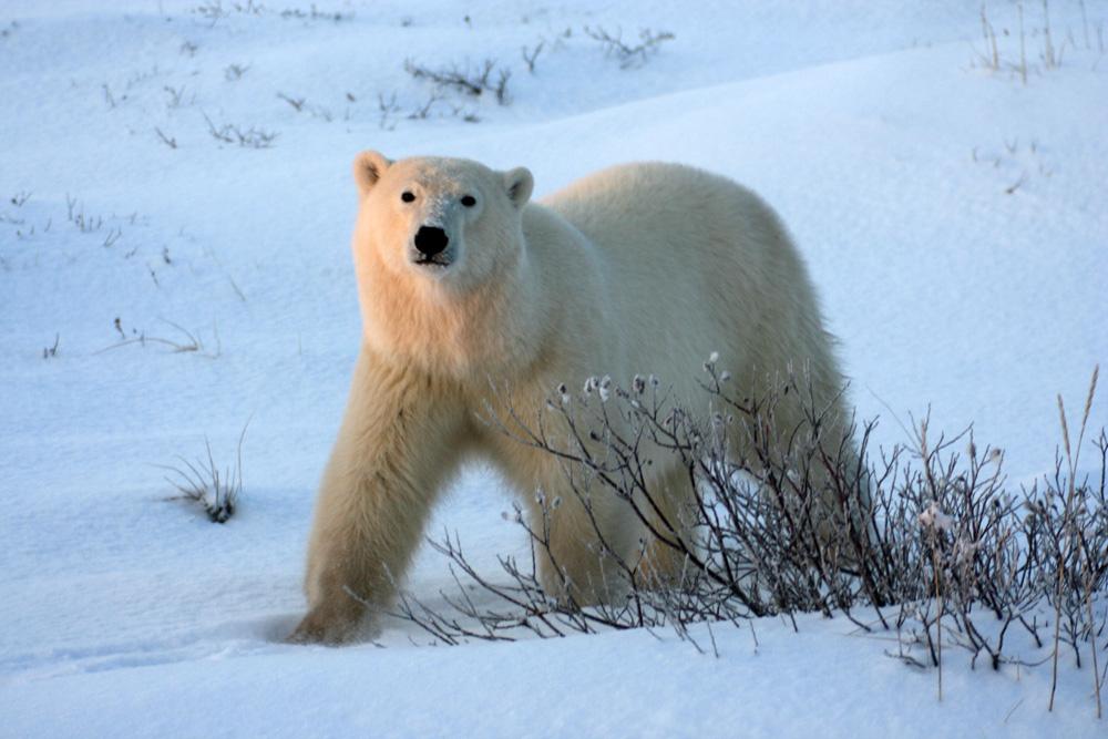 Viele Bären der Eisbären an der Hudson Bay in Churchill kamen so nah, dass ich ihren Atem hören konnte