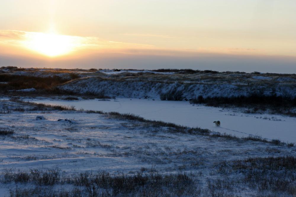Als dieser Eisbär in Churchill an der Hudson Bay an einem frühen Novembermorgen an mir vorbeilief, erfüllte sich ein Lebenstraum.
