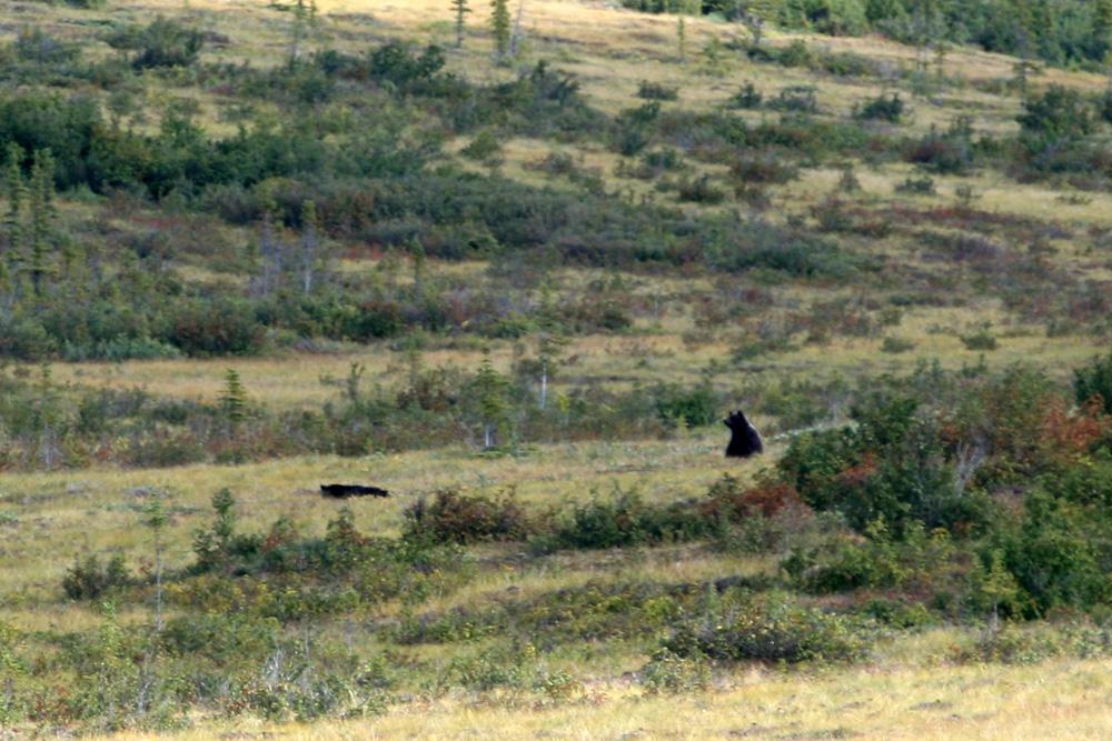 Ein unscharfes Foto, aber für mich ein ganz besonderes. Es ist das allererste, was ich von einem Bären schießen konnte.
