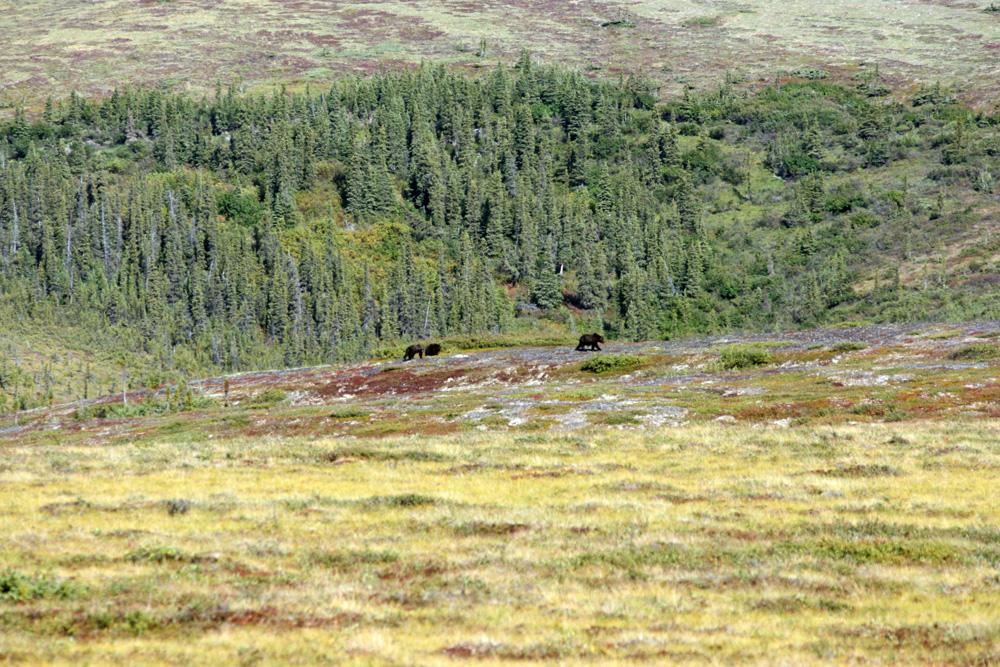 Stundenlang hätte ich die Grizzlyfamilie mit den beiden Jungtieren beobachten können