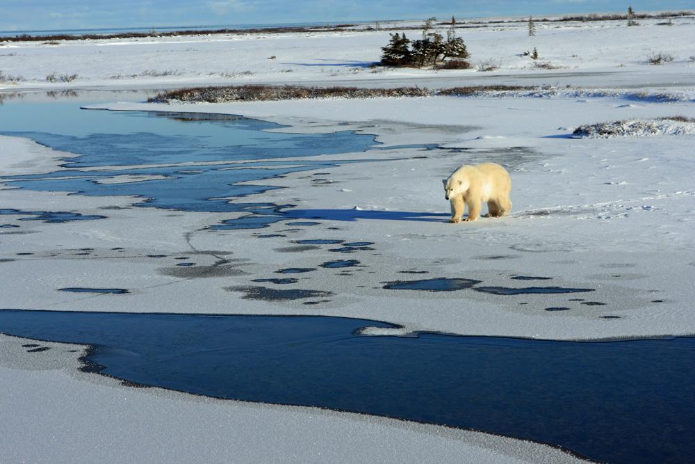 Einen Eisbär in seinem natürlichen Lebensumfeld in der Arktis in Churchill Manitoba beobachten zu können, löst ungeheuere Glücksgefühle aus.
