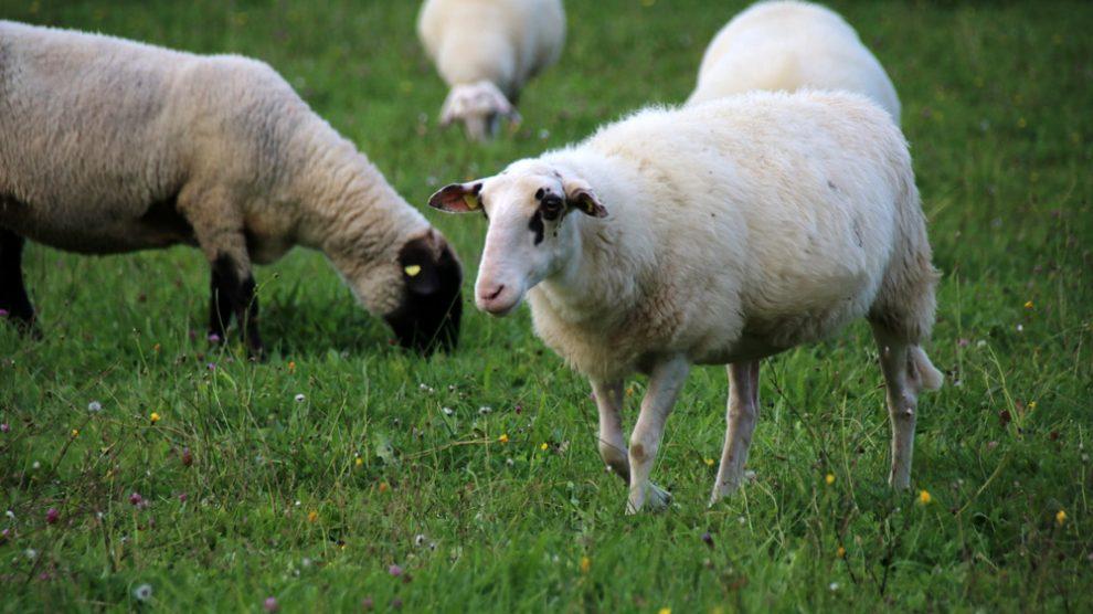 Das Freilichtmuseum Detmold hält auch einige Nutztiere, wie diese Schafe