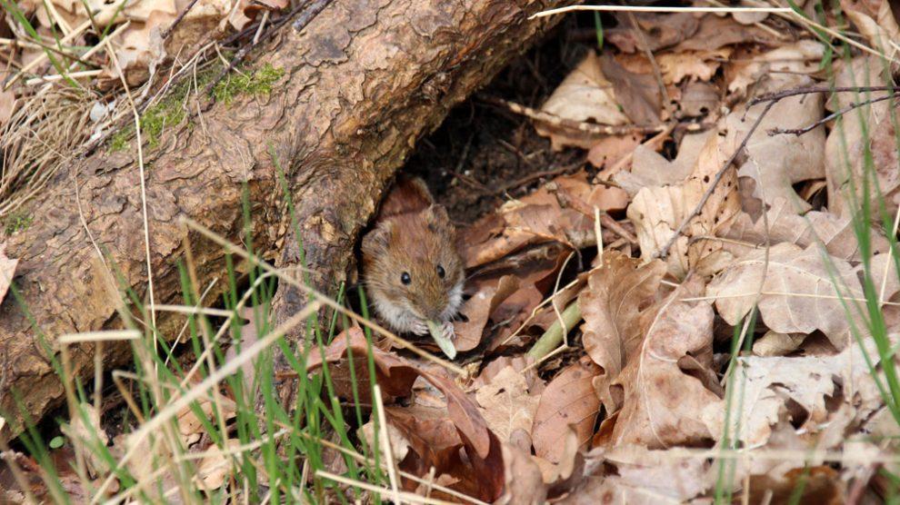 Rötelmäuse trifft man im Teutoburger Wald recht häufig