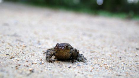 Eine Kröte am Wegesrand