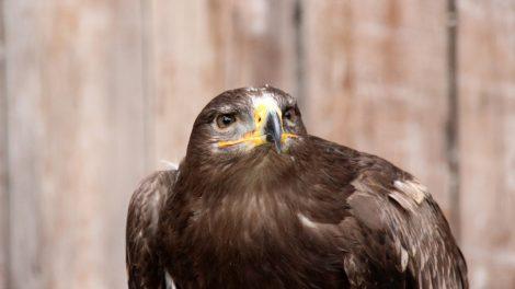 In der Adlerwarte Berlebeck sind viele verschiedene Adler zu sehen