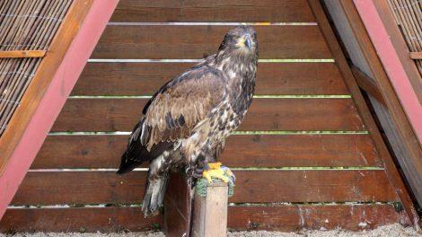 In der Adlerwarte finden auch Flugvorführungen statt