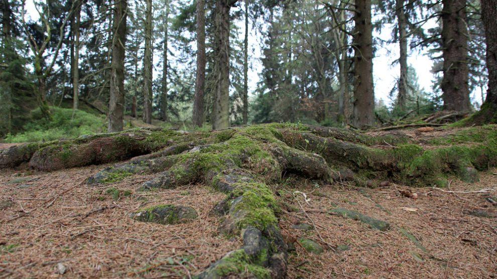 Immer wieder sind alte Bäume und deren mächtiges Wurzelwerk zu bestaunen