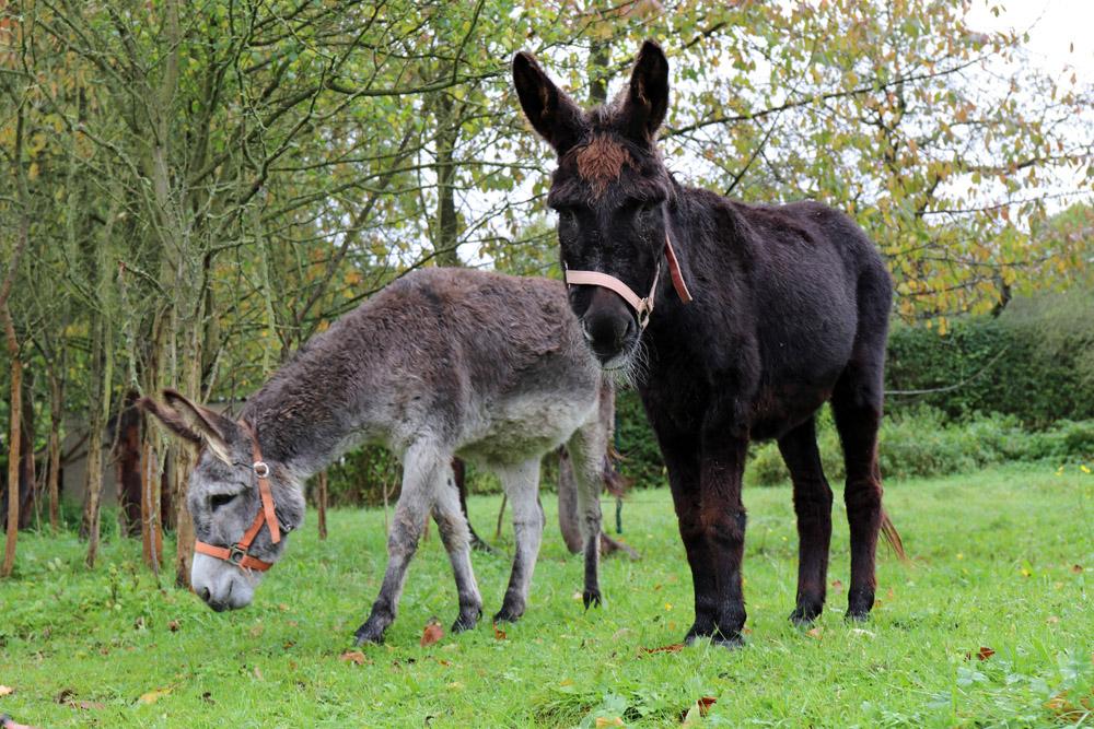 Esel am Lutherweg
