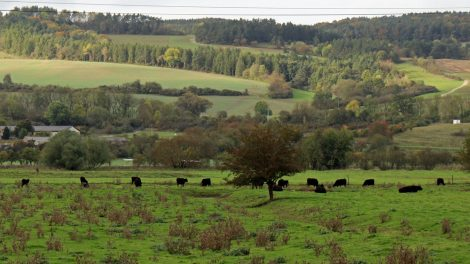 Rinder weiden beim Lutherweg wandern am Wegesrand