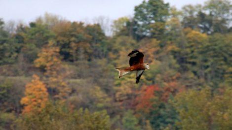 Viele Vögel wie dieser Rotmilan sind beim Lutherweg wandern in Thüringen zu sehen
