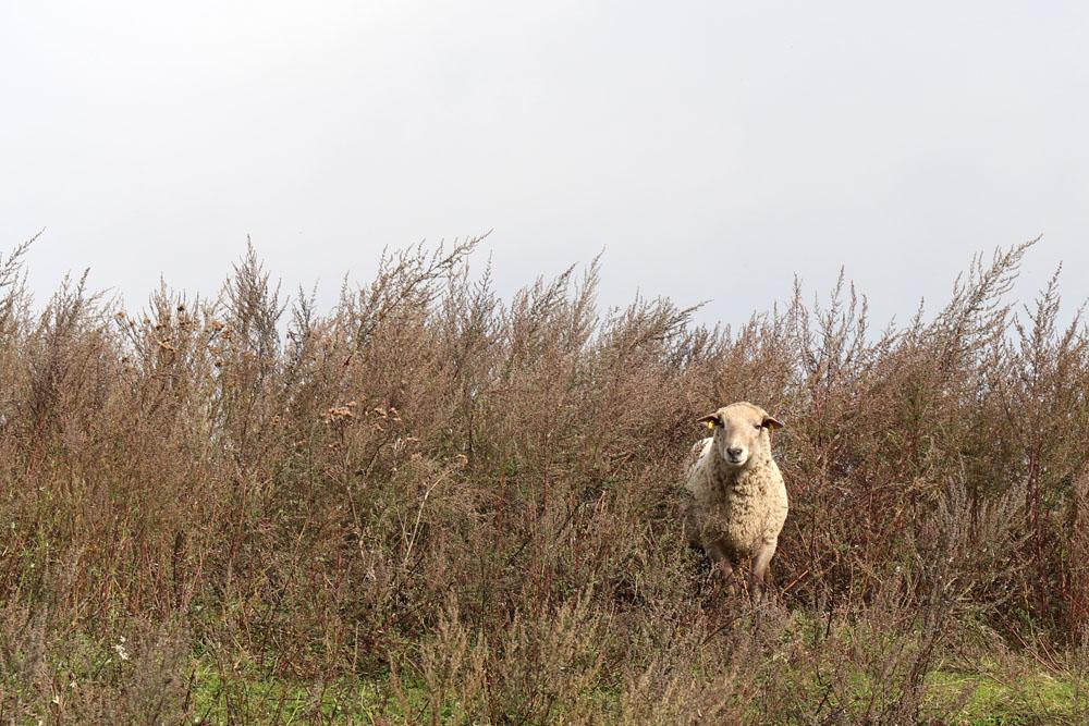 Auch auf Schafe trifft man am Lutherweg in Thüringen immer wieder