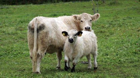 Neugierig schauen die Kühe zu den Wanderern auf dem Lutherweg