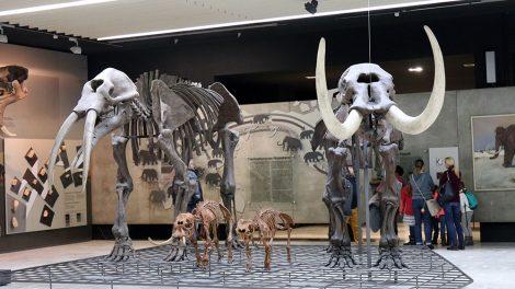 Elefanten und Mammuts im Senckenberg Museum Frankfurt