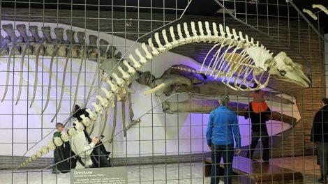 Wale im Senckenberg Museum Frankfurt