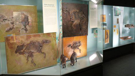 Pferde aus der Grube Messel im Senckenberg Museum Frankfurt