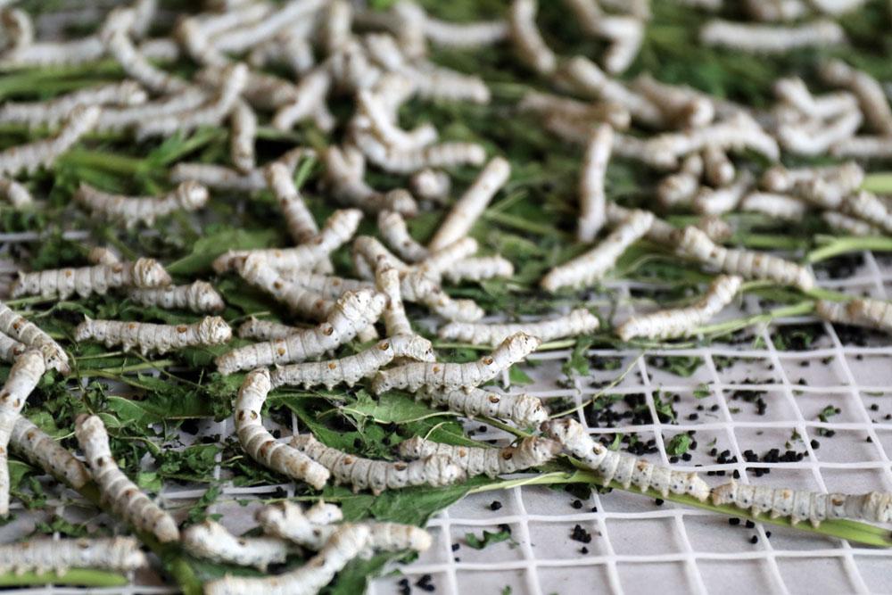 In der ersten Seidenfabrik in Suzhou kann man u.a. auch Seidenraupen sehen