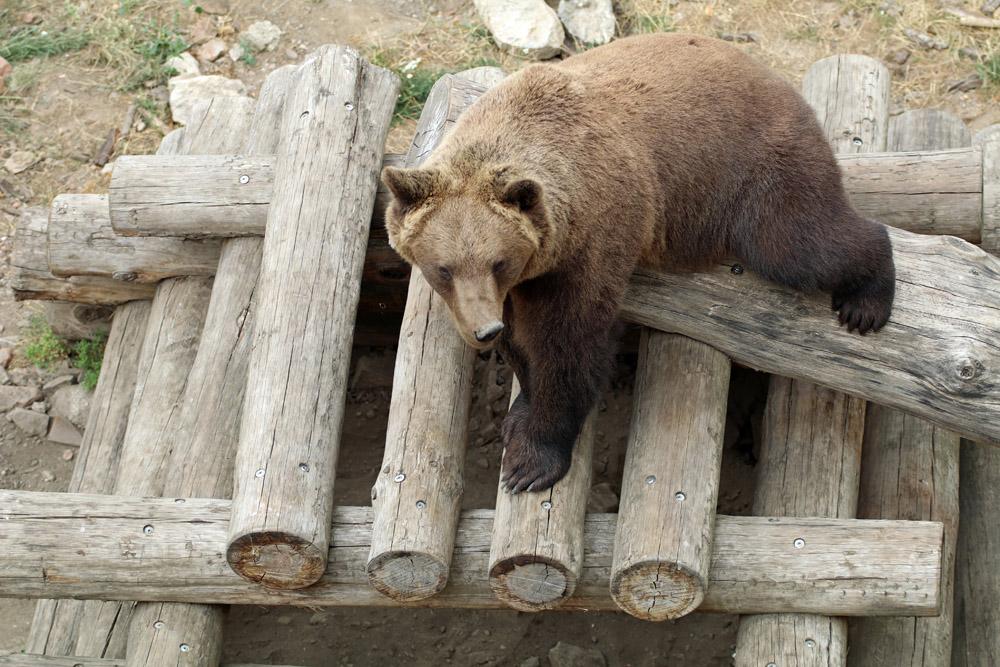 Einer von aktuell drei Bären in Torgau