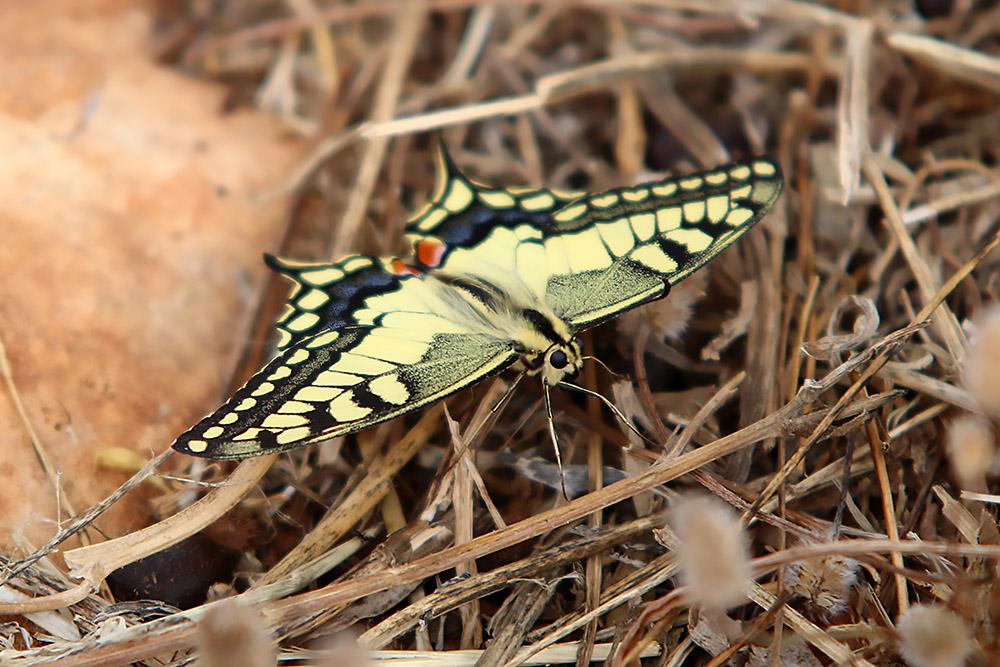 Ein Schmetterling auf Zypern