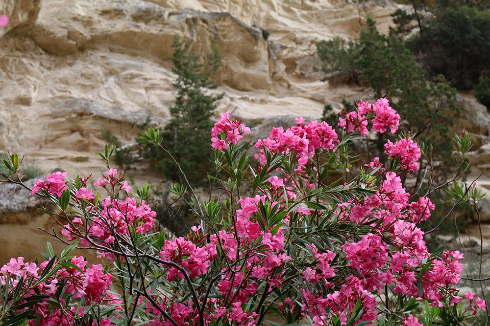 Rhododendron auf Zypern