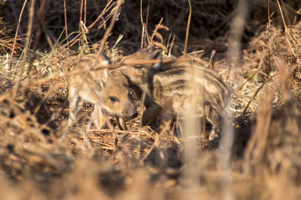 Junge Frischlinge Wildschweine