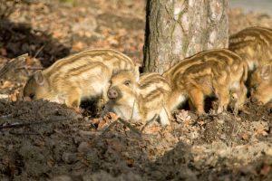 Wildschwein Frischlinge im Wildschweinpark Melle bei Osnabrück